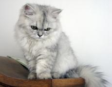 Котките обичат да клюкарстват