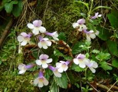Магията на Орфеевото цвете - Хаберлея