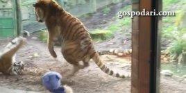 Тигър събужда друг тигър от следобедна дрямка