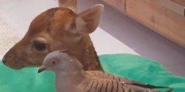Необикновеното приятелство между гълъб и сърничка
