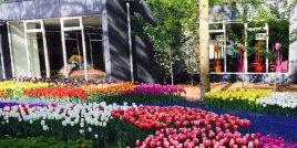 Койкенхоф – цветното чудо на Холандия