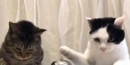 Тези сладки котки умело си служат със звънеца и затова получават награда!