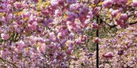 15 смайващи празника на цъфналите дървета по цял свят