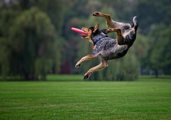 Голям смях: Кучета хващат фризби (снимки)