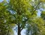 Кое е вашето рождено дърво? ( Част 3)