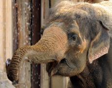 Жена слонче