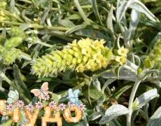 Мурсалски чай - чудото, наречено лек за всички болежки