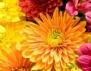Хризантемата – кралица на есенните цветя
