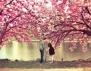 Красота! Вижте японската сакура (снимки)