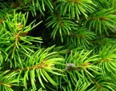 Живо коледно дърво