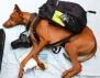 Какви сънища сънува кучето? (снимки)