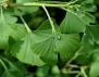 Полезните свойства на Гинко билоба - един от най-старите лекове в света
