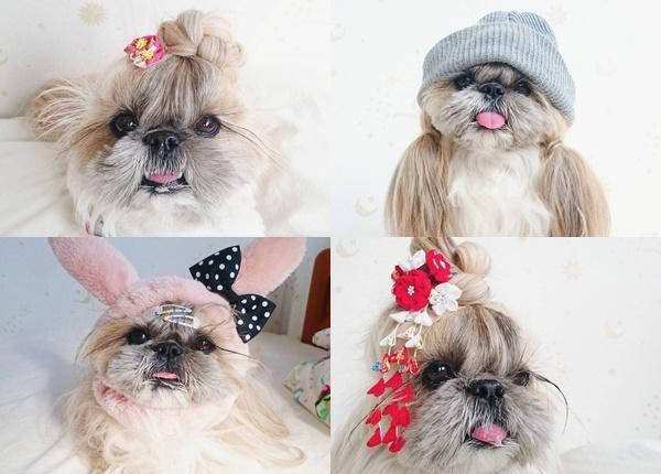 Това кученце ши цу е истински модел на прически