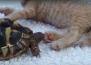 Костенурка се опитва да яде лапите на котка