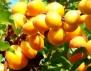 Вкусните и полезни сезонни плодове, част 2