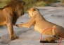 Фотограф улавя невероятна история, когато лъвове се сблъскват с ранена лисица