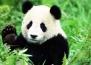 """Пандата излезе от """"Червения списък"""""""