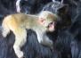 Маймунката, която се сприятели с коза