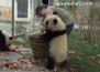 Панди предизвикват хаос в дома си