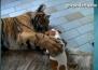 Опасна игра: Куче се бори с тигър