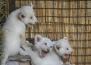 5 бели лъвчета се родиха в Украйна