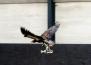 Холандия тренира орли, които да хващат опасни дронове