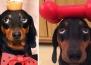 Кученцето, което може да балансира всичко върху главата си!