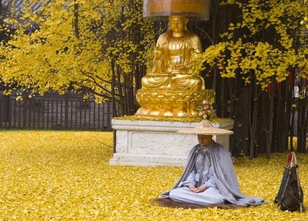 1400 годишно Гинко дърво разпръсква океан от златни листа.