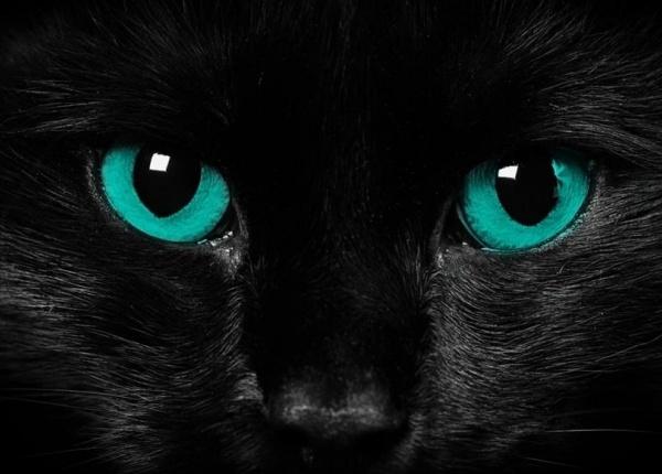 Откъде черните котки са придобили лошата си репутация и защо не я заслужават