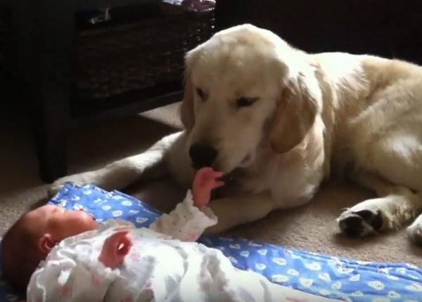 Майка поставя бебето си до нейния Голдън ретривър.