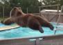 Тази мечка Гризли току що е открила басейна!