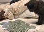 Мъж показва на котката си оптична илюзия и реакцията й е изумителна!