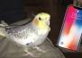 Домашен папагал пее популярен тон на звънене на iPhone, когато е подтиснат!