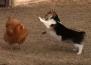 Кокошка и куче на дуел