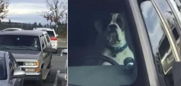 Куче, затворено в паркирана кола, опитва да привлече вниманието на собственика, натискайки клаксона