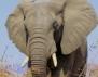 Тайландският Рудолф всъщност бил слон