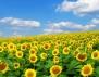 Слънчогледовите семки успокояват нервите