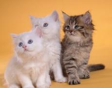 Котешко мъркане против стрес и умора