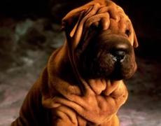 Какъв мъж е според неговото куче: Шарпей