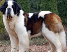 Какъв мъж е според неговото куче: Санбернар