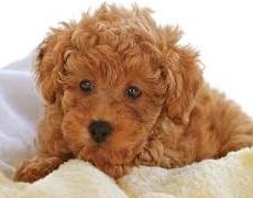 Какъв мъж е според неговото куче: Пудел