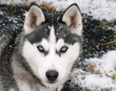 Какъв мъж е според неговото куче: Хъски