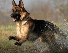 Какъв мъж е според неговото куче: Немска Овчарка