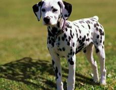 Какъв мъж е според неговото куче: Далматинец