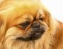 Какъв мъж е според неговото куче: Пекинез