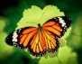 Келтски хороскоп! Зодия Пеперуда