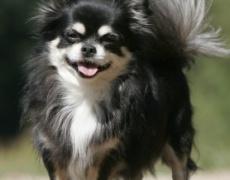 Какъв мъж е според неговото куче: Чихуахуа
