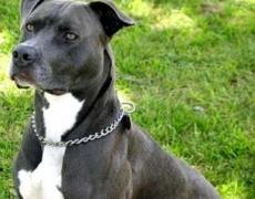 Какъв мъж е според неговото куче: Питбул