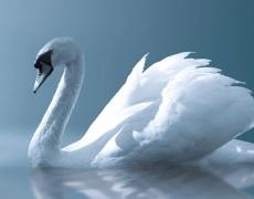 Келтски хороскоп! Зодия Лебед