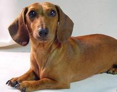 Какъв мъж е според неговото куче: Дакел
